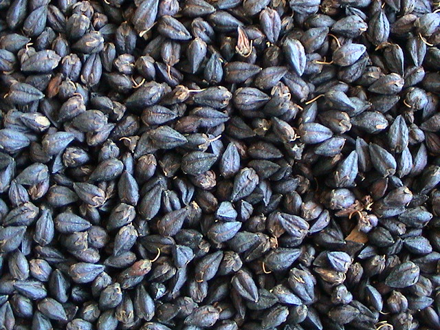 黑苦荞/黑鞑靼荞麦